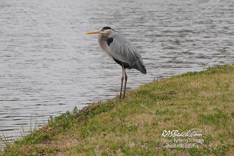 Great Blue Heron_010