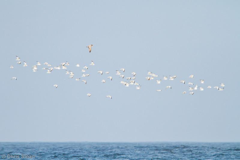 Sabine's Gulls at pelagic out of Bodega Bay, CA (10-15-2011) - 542.jpg