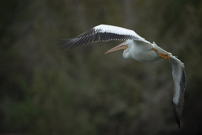 American White Pelican Release (Firebird's Flight of Gratitude)
