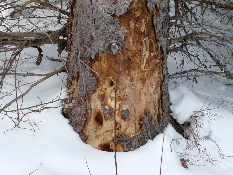 Pileated Woodpecker - holes in tree