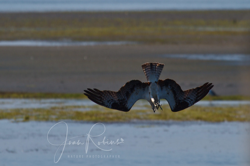 Osprey diving, head and feet first.
