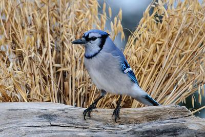 April 13, 2014 - Minnesota Birds