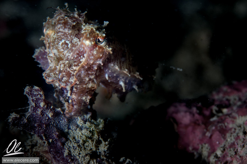 Perching cuttlefish