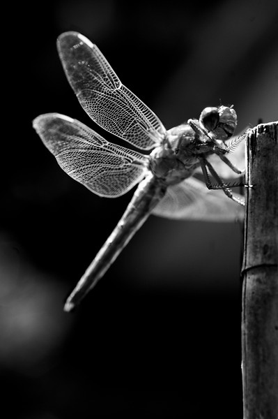 Dragonfly Black & White
