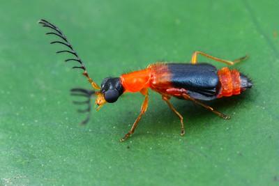Melyridae - Soft-winged Flower Beetles