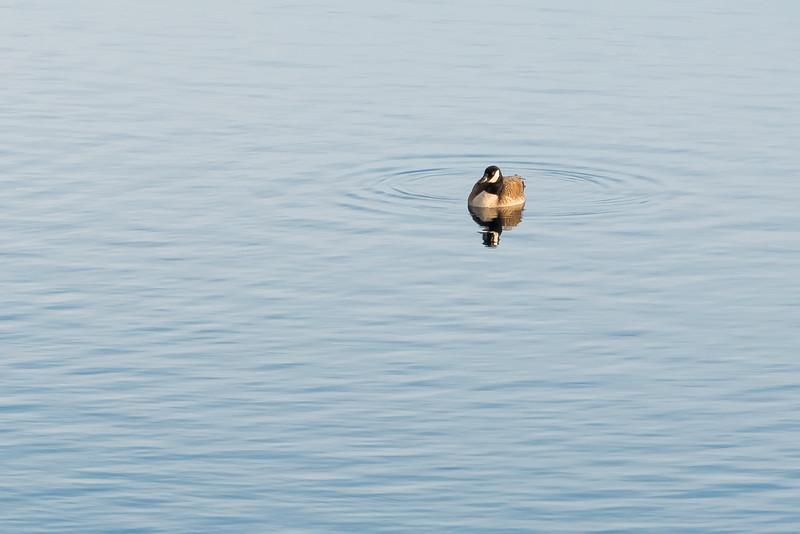 Geese 5-8006.jpg