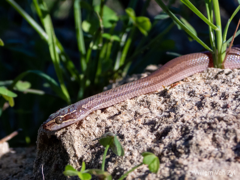 20190615 Juvenile Brown House Snake (Boaedon capensis) from Durbanville, Western Cape