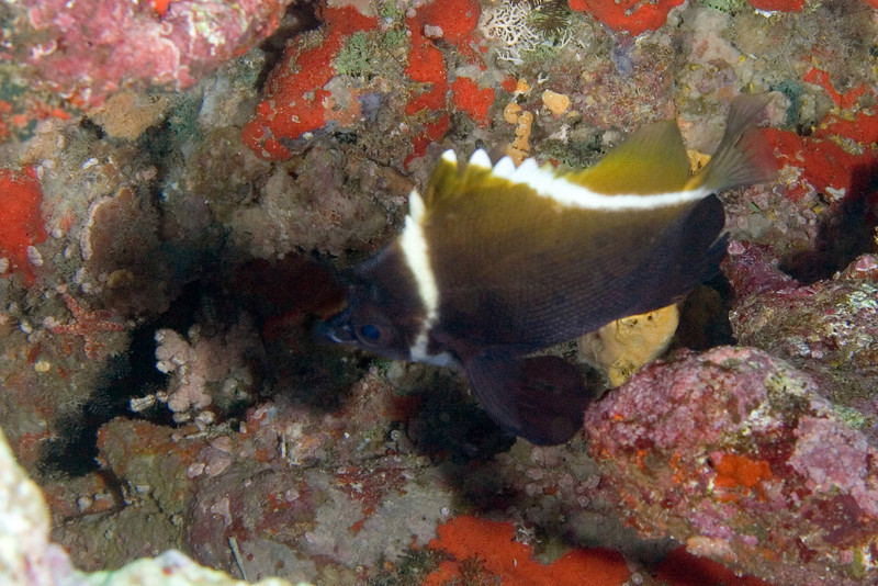 Humphead Bannerfish 1.jpg