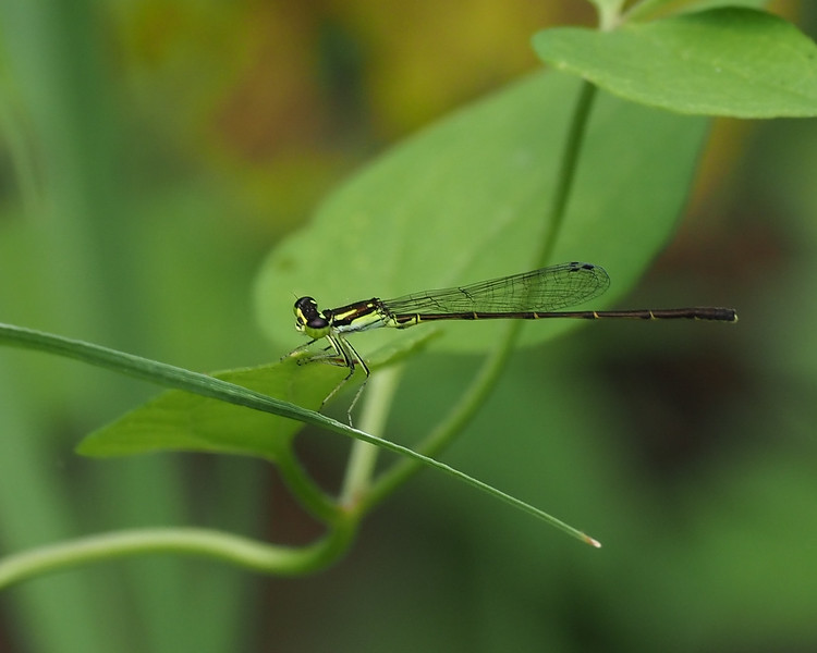 Fragile Forktail, male