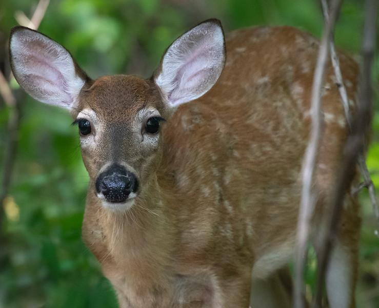 Bambi Alert
