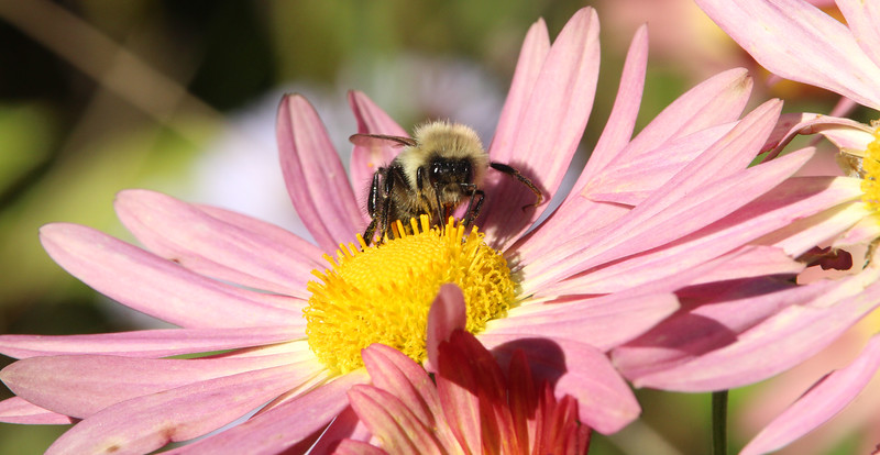 bumble bee pink cone flower 1.jpg