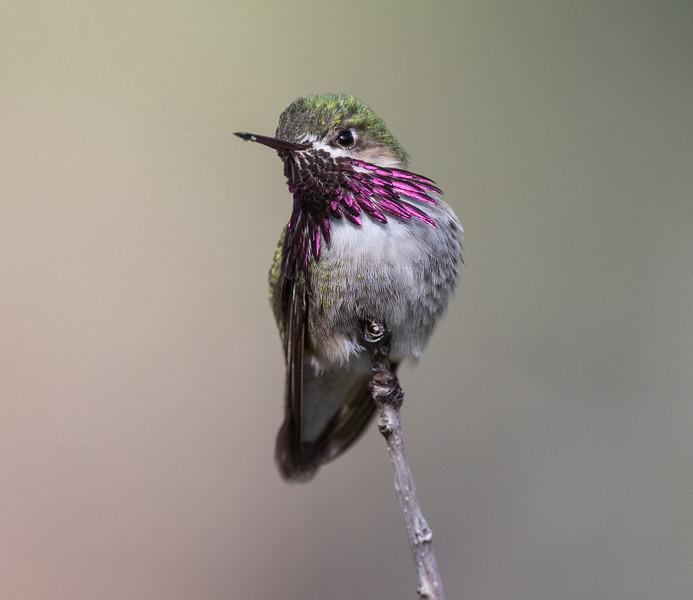 Calliope Hummingbird Mammoth Lakes 2020 05 22-3.CR2