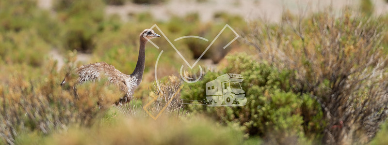 Darwin's rhea (Rhea pennata), also known as the lesser rhea or Puna Rhea in the Bolivian altiplano