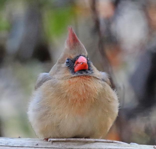 Cardinal 42