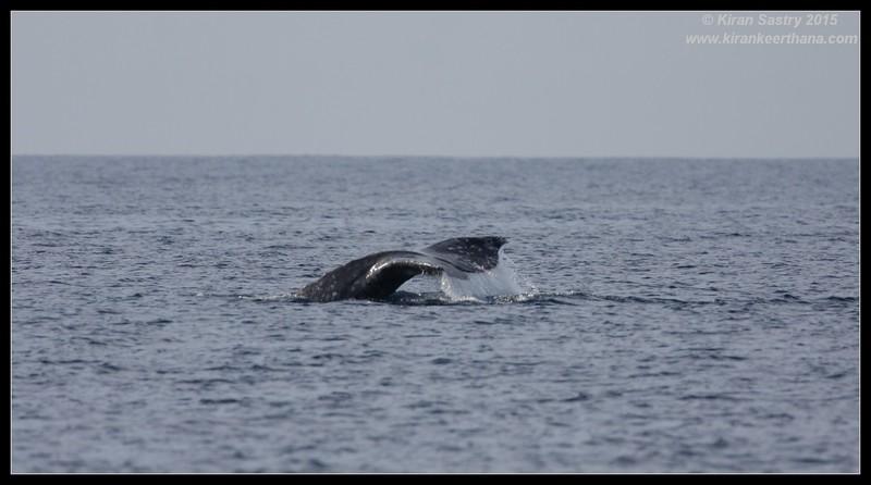 Gray Whale tail fluke, Whale Watching trip, San Diego County, California, January 2015