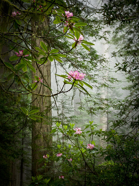 Floating Rhododendron