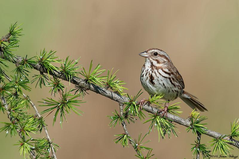 Song Sparrow, Melospiza melodia