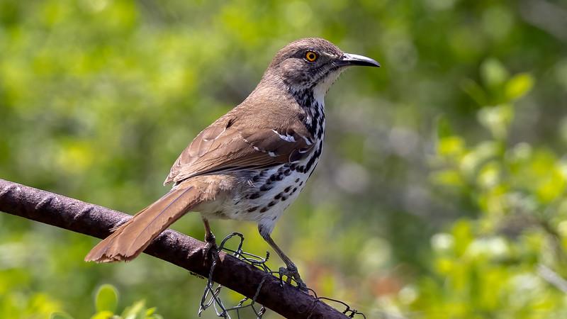 Long-billed Thrasher @ Laguna Vista Nature Trail