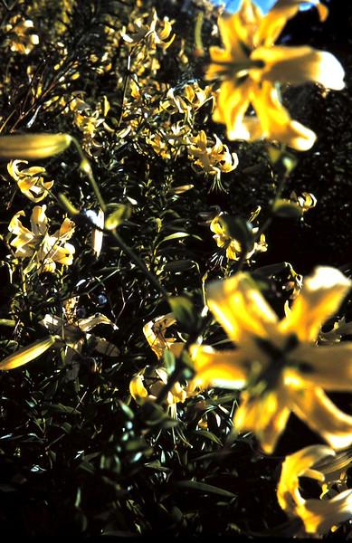 1961-2-19 (7) Liliums @ Brian Tonkins.JPG