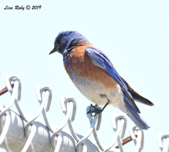 Western Bluebird - 6/15/2019 - Creekside Elementary School Sabre Springs