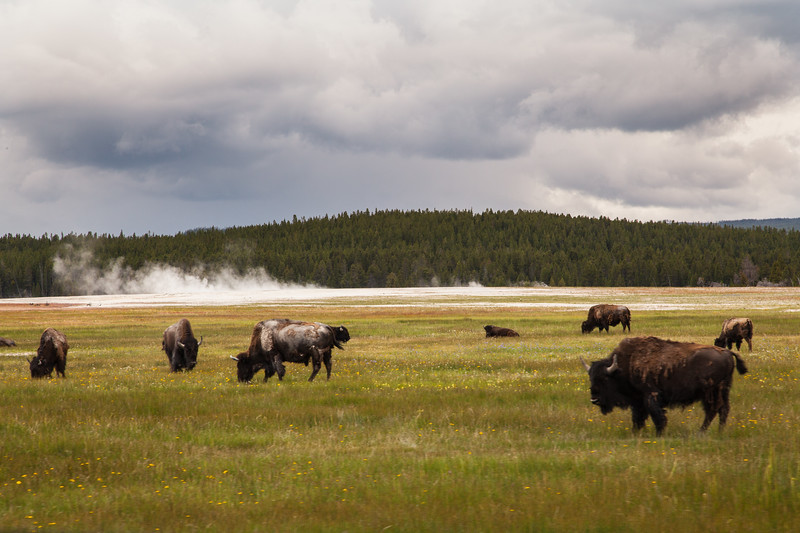 Bison in the Midway Geyser area