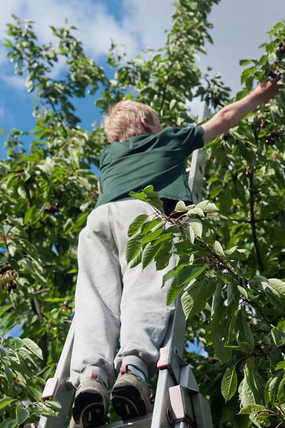 Die Kirschen bei Opa waren reif, aber Opa darf seit seinem Unfall vor ein paar Jahren, als er bei Petra aus dem Baum gefallen ist, nicht mehr auf die Leiter. Wir haben geholfen, zu mindestens einen Teil der Kirschen zu pflücken.
