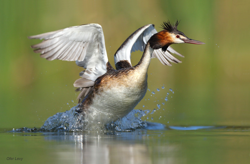 Great-crested Grebe 23.jpg