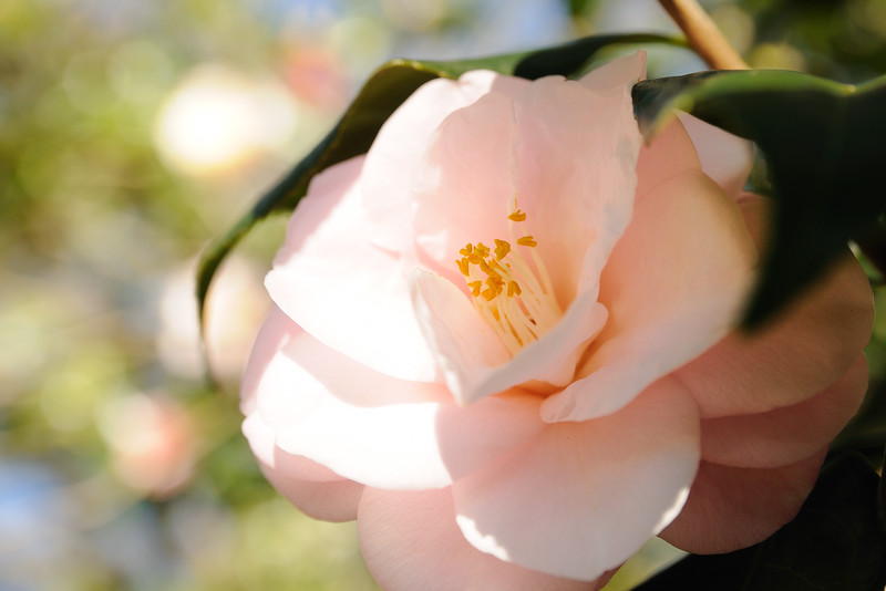 Camellias are beautiful when in bloom . . .