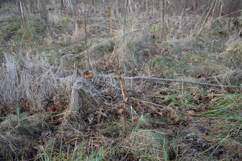 Spruce destroyed by deer rub
