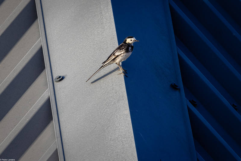 Wagtail on a Tin Roof