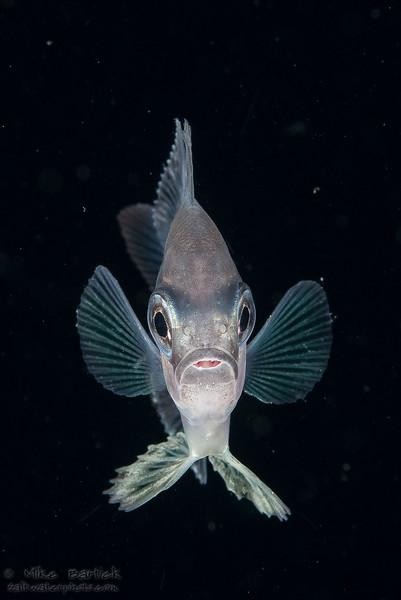 Romblon driftfish-2 (1 of 1).jpg