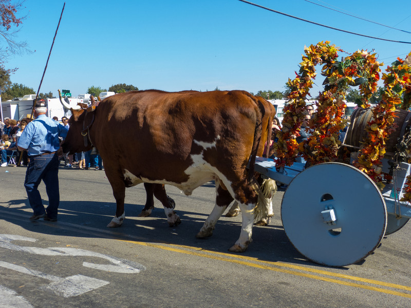 """Look at the size of those bulls pulling carts in the annual Portuguese """"Our Lady of Fatima"""" Celebration parade in Thorton, CA."""