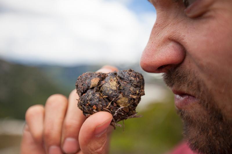 A climber smells a chunk of fresh bear scat.