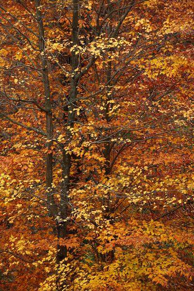 Pennsylvania Beech Tree