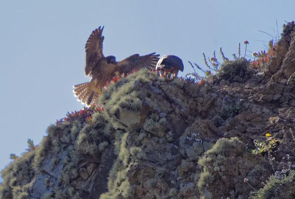 Devil's Slide Peregrine Falcons 6/22/2018