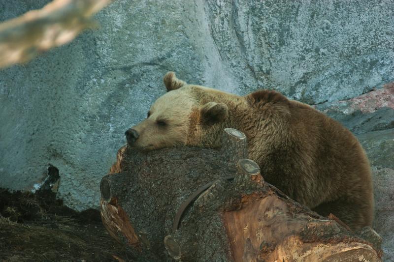 Brown Bear - Ruskeakarhu - Ursus arctos  So boring... - Tylsää...