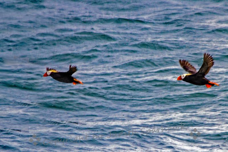 Puffins flyingxx.jpg