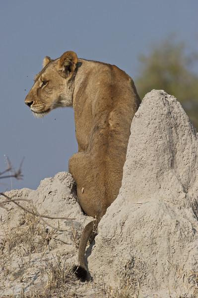 Lion female hunting, Selinda Reserve, Botswana