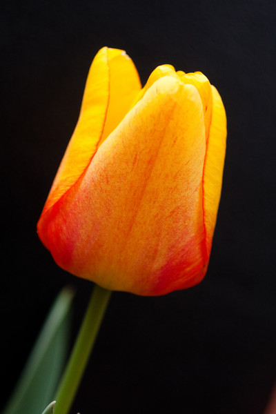 Yellow Tulip on Black (2 of 4)