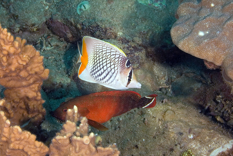 Crosshatch Butterfly and Flagtail Grouper.jpg