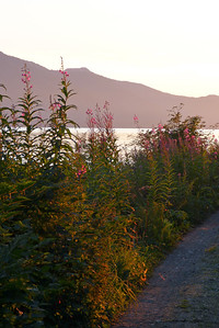 Fireweed Alongside the Trail - Vertical August 2012, Cynthia Meyer, Tenakee Springs, Alaska
