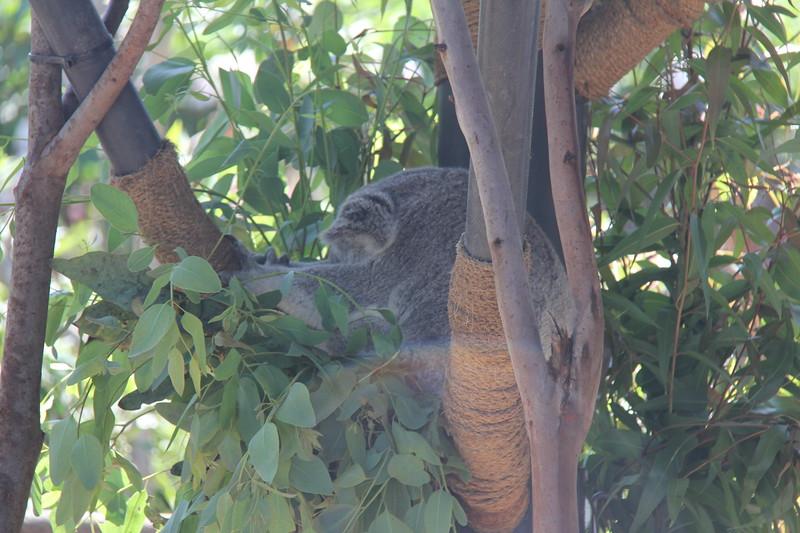 20170807-030 - San Diego Zoo - Koala.JPG