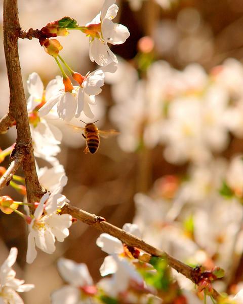 cherry tree bee.jpg