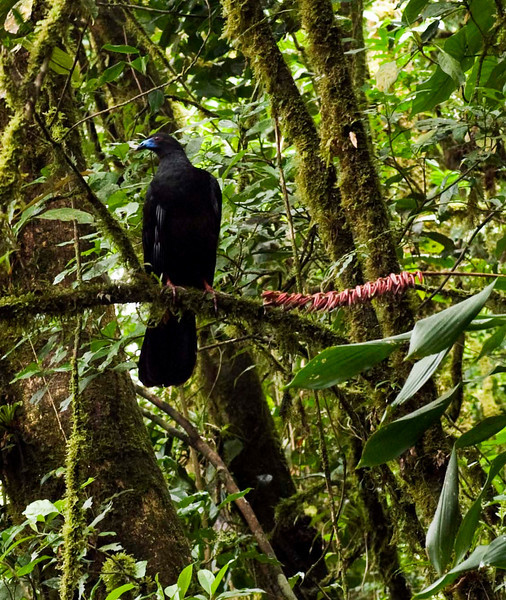 I must confess - I've forgotten the name of this bird.  It's a member of the turkey family, is large and noisy (both in flight and lots of squacks and squeels).  Reserva Biologica Nuboso Monteverde