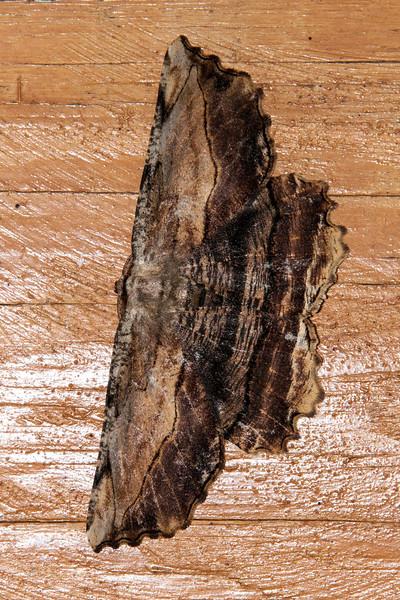 Lytrosis - Common - (Lytrosis unitaria) - Dunning Lake - Itasca County, MN