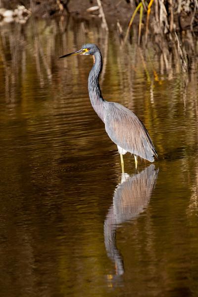 Heron - Tri-colored - St. Marks NWR - FL - 03