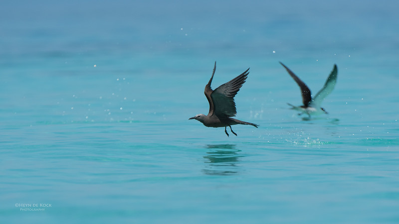 Common Noddy, Michaelmas Cay, QLD, Dec 2014-4.jpg