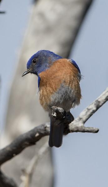 Bluebird Western