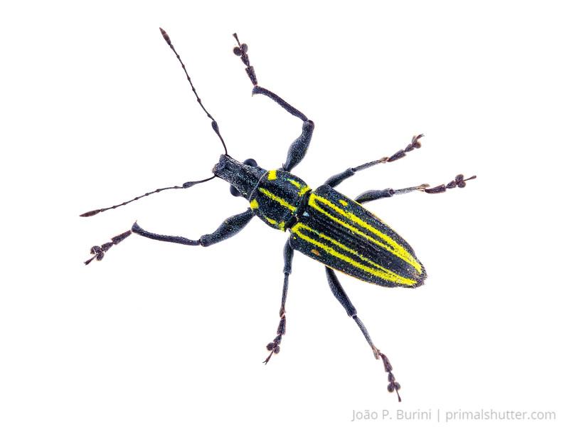 Weevil (Entiminae, Naupactus rivulosus) São Lourenço, Minas Gerais, Brazil Urban December 2017