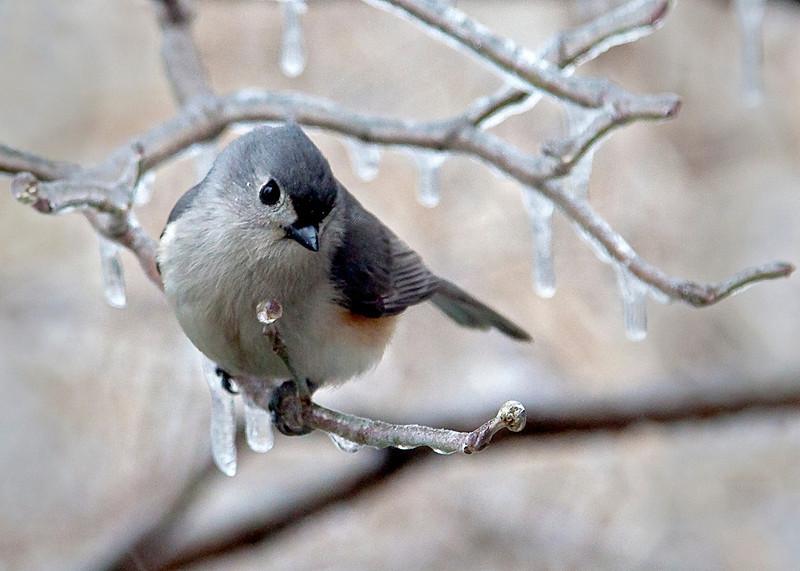 IcyGrayBird3.jpg
